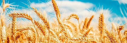 header_wheatfield.jpg